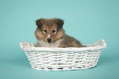 躺下在蓝色背景的一个白色篮子的设德蓝群岛牧羊犬小狗 免版税库存照片