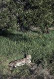 躺下在豪华的绿草的猎豹猎豹属jubatus 免版税库存图片