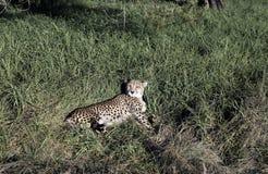 躺下在豪华的绿草的猎豹猎豹属jubatus 库存图片