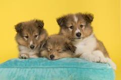 躺下在黄色背景的一个蓝色坐垫的三只设德蓝群岛牧羊犬小狗 免版税库存照片