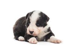21躺下天年纪杂种的小狗 库存照片