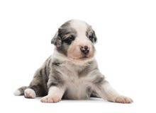 21躺下天年纪杂种的小狗 免版税库存图片