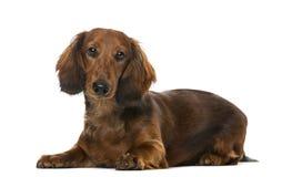 躺下小狗的达克斯猎犬, 6个月 免版税库存图片