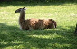 躺下幼小的骆马 免版税库存图片