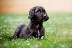 躺下户外在夏天的阿富汗猎犬小狗 免版税库存图片