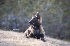 躺下比利时牧羊人的小狗 免版税库存照片