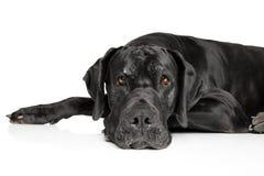 躺下的丹麦种大狗 库存图片