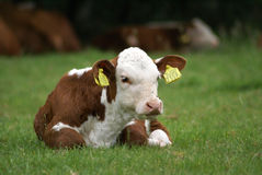 躺下的小牛 免版税库存图片