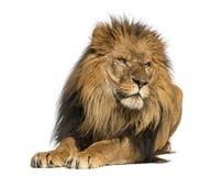 躺下的狮子,看,豹属利奥, 10岁 免版税库存图片
