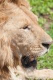 躺下的狮子 免版税库存图片