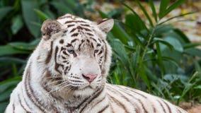 躺下美丽的白色的老虎 库存图片
