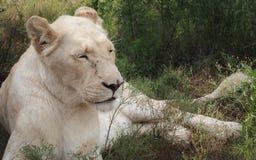 躺下美丽的白色的雌狮 库存照片
