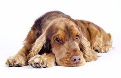 躺下英国猎犬的狗, 1岁 免版税图库摄影