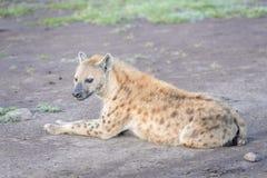 躺下被察觉的鬣狗斑鬣狗的斑鬣狗 库存照片