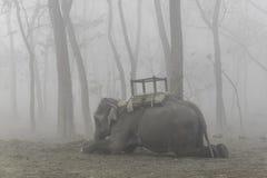 躺下被驯化的大象 库存图片