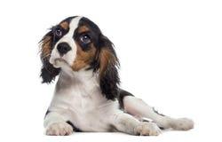 躺下骑士国王查尔斯狗的小狗(19个星期年纪) 图库摄影