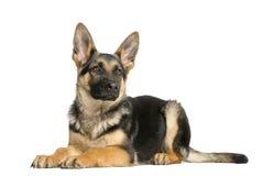 躺下年轻的德国牧羊犬,看  免版税库存照片