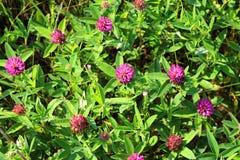 车轴草pratense 一棵开花的三叶草的丛林 库存照片