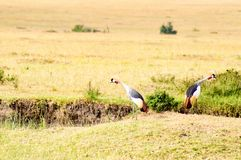 转动他们的在马塞语Ma大草原的两台皇家起重机后面  免版税库存照片