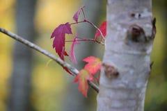 转动在秋天的红槭叶子 库存照片