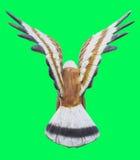 转动在绿色屏幕色度隔绝的老鹰或猎鹰雕象 免版税库存图片