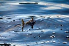 转动的渔(诱剂渔)鳟鱼在斯堪的那维亚的湖 库存照片