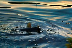 转动的渔(诱剂渔)鳟鱼在斯堪的那维亚的湖 免版税库存图片