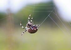 转动网的可怕长毛的蜘蛛等待在蜂蜜酒的一个牺牲者 免版税库存图片