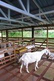 转回去和走开在谷仓的一只白色山羊与高顶和绿色树外面 免版税库存图片