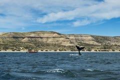 翻转它的传说的南部的脊美鲸在瓦尔德斯半岛在阿根廷 免版税图库摄影