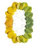 转折秋天季节在白色上色了槭树叶子被隔绝 免版税图库摄影