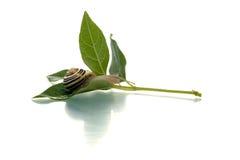 转接去的绿色叶子蜗牛 免版税库存照片
