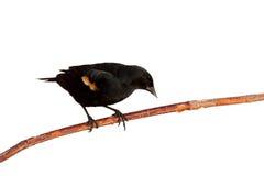 转接黑鹂的分行倾斜红翼歌鸫 免版税图库摄影