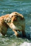 转过来在海滩的狗 库存图片