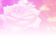 软性玫瑰淡色背景 库存照片