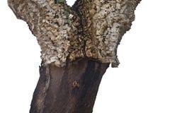 软木树树干 免版税库存照片