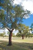 软木树 免版税图库摄影