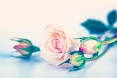 软桃红色的玫瑰 库存图片