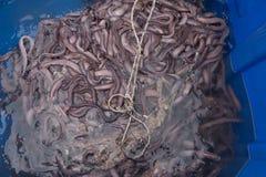 软泥鳗鱼或八目鳗类鱼大蓝色容器  库存图片