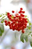 软浆果的花揪 免版税库存图片