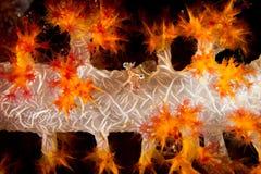 软珊瑚的虾 库存照片