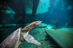 软的壳乌龟-蓝色洞穴 免版税库存图片