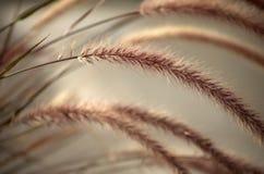 软的早晨柔滑的黑麦 免版税库存照片