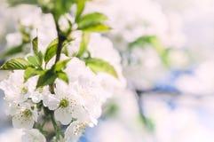 软的春天苹果开花背景 免版税库存图片