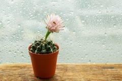 软的桃红色仙人掌花盆木桌 免版税库存照片