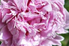 软的桃红色牡丹瓣,宏观特写镜头 图库摄影