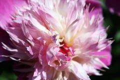 软的桃红色牡丹瓣 免版税图库摄影
