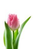 软的桃红色的宏指令装饰了花梢褶边郁金香 库存图片