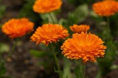软的橙色万寿菊 免版税库存照片