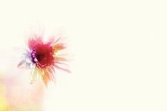 软的焦点和被弄脏的大丁草花在桑树纸backgrou 库存图片